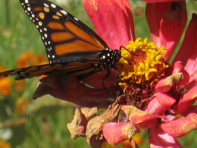 Migrating Monarch on Zinnia in my garden. ©Eileen Anglin http://eileenanglin.wordpress.com/