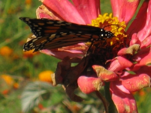 Monarch on Zinnia ©Eileen Anglin www.whiterosepath.com