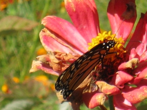 Monarchs in The Gardens of 333 ©Eileen Anglin www.whiterosepath.com
