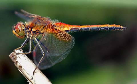 Yellow-winged Darter (Sympetrum flaveolum)