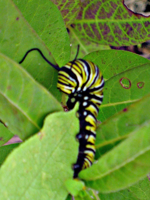 Monarch Butterfly Larvae in the Butterfly Sanctuary of The Gardens of 333