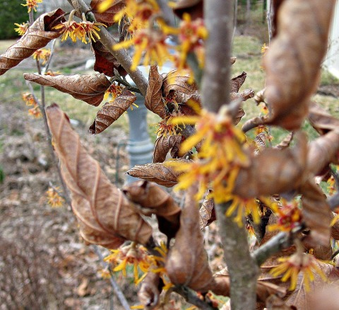 Witch Hazel bush in The Gardens of 333