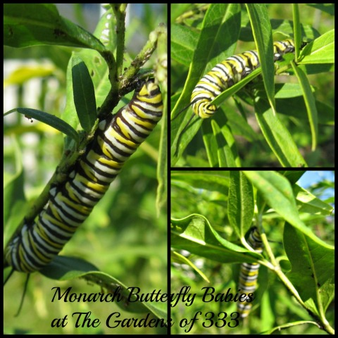 2014 Monarch Babies in The Gardens of 333