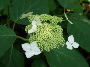 Hydrangea aborescens, Photo by Myrna Attaway